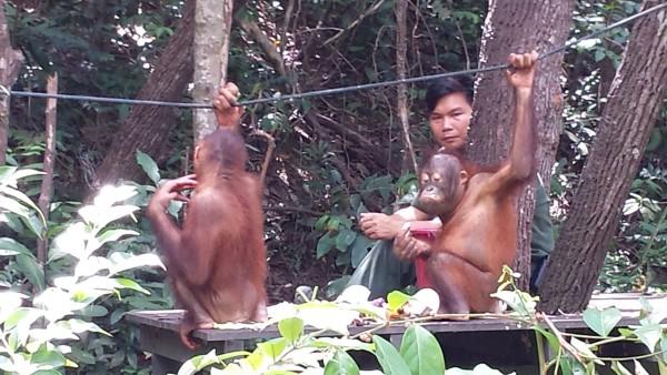 Orang Utans in Sabah, Borneo.