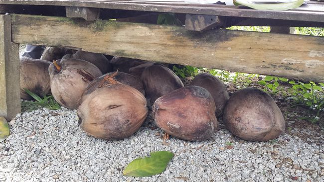 Coconuts maturing under a bench outside the house. The property is surrounded by rice fields.