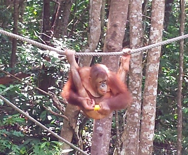Orange Utan reserve at the Shangri-La Rasa Ria