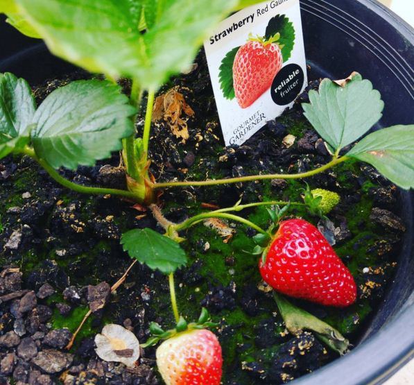 """""""Summer is growing your own strawberry for the first time, and being overwhelmed with joy on the glimpse of first strawberries in your kitchen garden."""" - Prandazzle"""